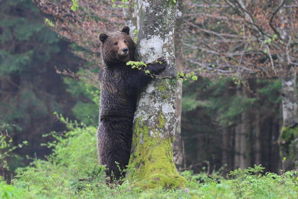 Green adventure - Brown bear