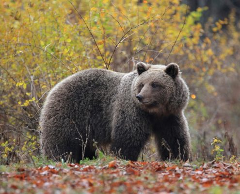 Medved - kralj gozdov - Green Adventure